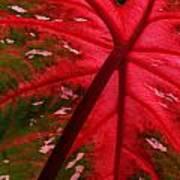 Backlit Red Leaf Art Print