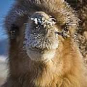 Bactrian Camel Camelus Bactrianus Art Print