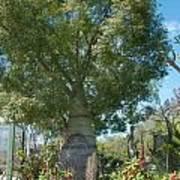 Balboa Tree Art Print