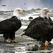 Bald Eagle Trio Art Print