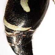 Bald-faced Hornet Stinger Art Print