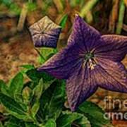 Balloon Flower - Antiqued Art Print