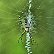 Banana Spider With Web Art Print