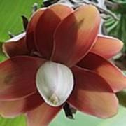 Banana Tree Blossom Art Print