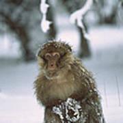 Barbary Macaque Macaca Sylvanus Male Art Print
