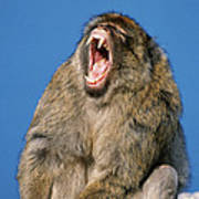 Barbary Macaque Macaca Sylvanus Yawning Art Print
