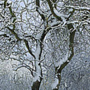 Bare, Snow-covered Tree In Winter Art Print