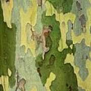 Bark Of A Sycamore Tree Art Print