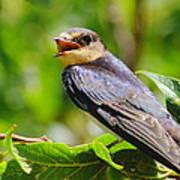 Barn Swallow In Sunlight Art Print