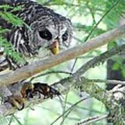 Barred Owl With Crawfish Art Print