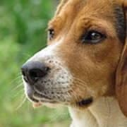Beagle Gaze Art Print