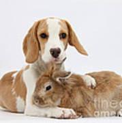 Beagle Pup And Rabbit Art Print