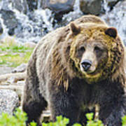 Bear On The Prowl. Art Print