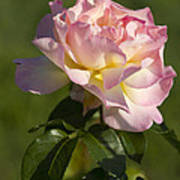 Beautiful Pink And Yellow Climbing Peace Rose Art Print