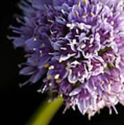 Beautiful Purple Flower Allium Senescens Art Print