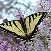 Beautiful Swallowtail Art Print