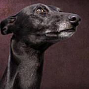 Beautiful Whippet Dog Art Print by Ethiriel  Photography