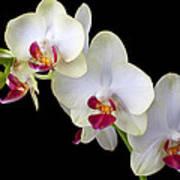 Beautiful White Orchids Art Print