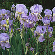 Bed Of Irises, Provence Region, France Art Print