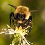 Bee Drinking Art Print
