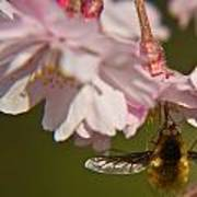 Bee Fly Feeding 8 Art Print
