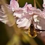 Bee Fly Sucking Nectar 1 Art Print