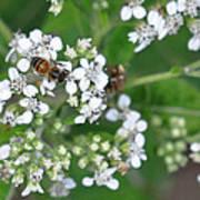 Bee Of The White Flower Art Print
