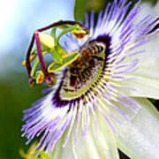 Bee On A Nigella Art Print