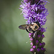 Bee On Gayfeather Squared 1 Art Print
