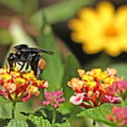 Bee On Lantana Flower Art Print