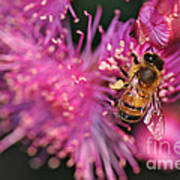 Bee On Lollypop Blossom Art Print