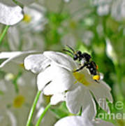 Bee On Primrose Art Print