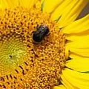Bee On Sunflower Art Print