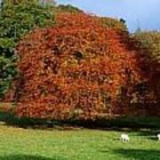 Beech Tree, Glendalough, Co Wicklow Art Print
