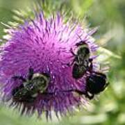 Bees On Thistle Art Print