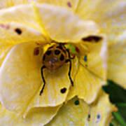 Beetle In Yellow Flower Art Print