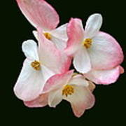Begonia Flower Gems Art Print