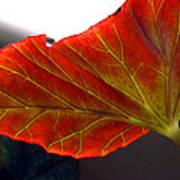 Begonia Leaf Art Print