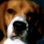 Bella The Beagle Art Print