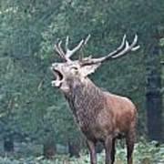Bellowing Red Deer Stag Art Print