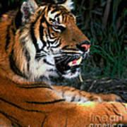 Bengal Tiger - Teeth Art Print