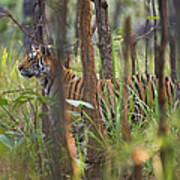 Bengal Tiger  17-month Old Art Print