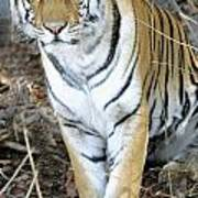 Bengal Tiger In Pench National Park Art Print