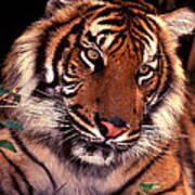 Bengal Tiger In Thought Art Print