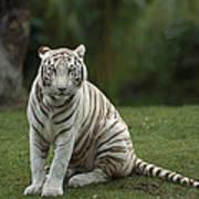 Bengal Tiger Panthera Tigris Tigris Art Print by Konrad Wothe