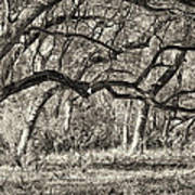 Bent Trees Sepia Toned Art Print