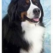 Bernese Mountain Dog 537 Art Print
