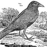 Bewick: Raven Art Print