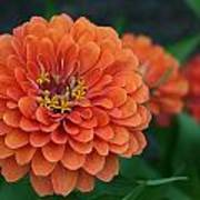 Big Bold Zinnia Flower Art Print