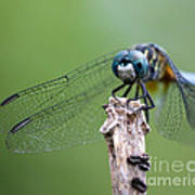 Big Eyes Blue Dragonfly Art Print